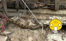 ตายเกลี้ยง!!! งูเหลือม บุกเข้ากรงไก่และกระต่ายของชาวบ้าน