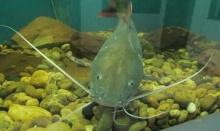 ประมงเตรียมเปลี่ยนชื่อ 'ปลาสวาย' เป็น 'ปลาโอเมกา 3' เพราะสาเหตุคนไม่ค่อยกิน!!