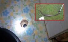 งูเห่าโผล่ห้องน้ำอีก!! จนท.สาวตกใจสุดขีด งูเขมือบหนู มุดท่อเข้าโรงพยาบาลฯ !!