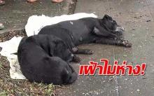 สะเทือนใจ!! ไม่ปล่อยให้คลาดสายตา!! สุนัขตัวผู้เฝ้าสุนัขตัวเมียที่ถูกรถชน! (มีคลิป)