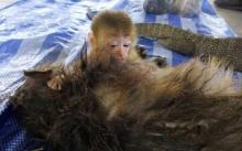 ย้อนรอยคดีสะเทือนใจ!! ลูกลิงดูดนมจากซากแม่ หลังถูกพรานป่าปลิดชีพ