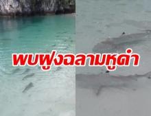 ระบบนิเวศสมบูรณ์! ฝูงฉลามหูดำ นับ 100ตัว โผล่หมู่เกาะห้องกระบี่ แหวกว่ายหาอาหาร