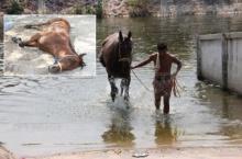 ทนอากาศร้อนไม่ไหว ม้าแข่งชายน้อย หอบแรงก่อนล้มช็อกตาย!!