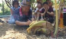 แห่ขอเลขเด็ด ต้นมะพร้าวประหลาดงอกเป็นหัวช้าง