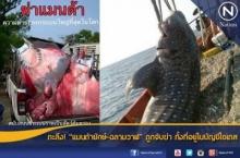 ตะลึง! แมนต้ายักษ์-ฉลามวาฬถูกจับฆ่า ทั้งที่อยู่ในบัญชีไซเตส