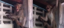 เศร้า!! ลิงแสมเมาเหล้าขาว สุดท้ายน็อคตายแล้ว