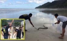 แจ้งจับ King cobra จงอางโผล่เล่นน้ำทะเลเกาะช้าง หวั่นเลื้อยซุกรีสอร์ต