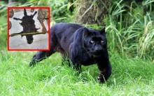 เผย เสือดำ ที่ถูกฆ่า อาจเป็นตัวสุดท้ายของผืนป่าไทย พบใกล้สูญพันธุ์ของโลก