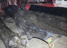 ฮือฮา!! พบตะเคียนอายุกว่า1,000ปีที่แม่น้ำปราจีนฯ
