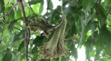 ฮือฮา!! พบช่อดอกมะม่วง คล้ายหงอนพญานาค ชาวบ้านแห่ขอเลขเด็ด
