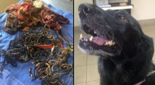 หมอมะกันผงะ! ผ่าท้องสุนัขแลบราดอร์เจอชุดชั้นใน 8 ตัว