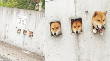 'แก๊งหมาชิบะ' ที่ชอบยื่นหัวออกมานอกกำแพง ทักทายชาวบ้านแทบทุกวัน