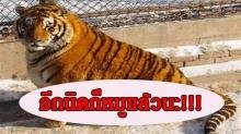 สิ้นลายเสือ!! สวนสัตว์จีนขุนเสือจนอ้วนจ่ำม่ำ น่ารักซะจนคนแห่ไปดูกันเพียบ