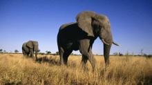 30 ประเทศ ร่วมการประชุมอนุรักษ์ช้างป่าแอฟริกา เผย 4 ปี สูญกว่าแสนตัว