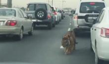 ตกใจหนัก!! เสือวิ่งบนถนน ที่ไหนได้สัตว์เลี้ยงเศรษฐี