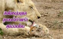 หาดูยาก! สิงโตหนุ่มดูแลลูกละมั่งกำพร้าสุดอ่อนโยนกลางป่าแอฟริกา