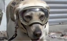 ฮีโร่ตัวจริง!!! ยกย่องสุนัขกู้ภัยแผ่นดินไหว ช่วยคนได้มากกว่า 52 ชีวิตแล้ว (มีคลิป)