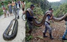 คู่งูหลามชะตาขาด!! นาทีผสมพันธุ์กันกลับถูกชาวบ้านจับไปกิน!! ตัวเมียใหญ่มาก ยาว 6 เมตร (มีคลิป)