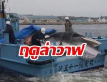 """ฤดูล่าวาฬ? """"ญี่ปุ่น"""" ออกเรือล่าวาฬอีกครั้ง หลังทิ้งช่วงมานาน """"30 ปี"""""""
