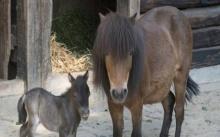 พี่เลี้ยงเด็กแทบช็อก!! เห็นจะจะ!! หนุ่มกำลังข่มขืนม้าในสวนสัตว์