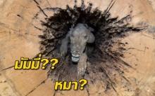 สุนัขติดแหง็กอยู่ในต้นไม้กลวงจนกลายเป็นมัมมี่??