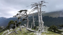 พบต้นไม้เก่าแก่ที่สุดในยุโรป อายุ 1,230 ปี และยังคงเจริญเติบโต