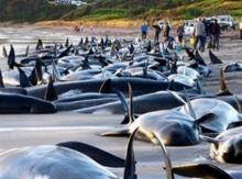 วาฬเกยตื้น 61 ตัวที่นิวซีแลนด์