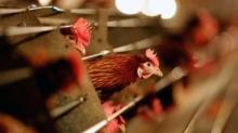 สหรัฐเผยตรวจพบไข้หวัดนกระบาดในฟาร์มไก่ สั่งเร่งกำจัดกว่า5ล้านตัว หวั่นลุกลาม