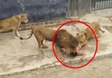 ยุติธรรมแล้วหรือ!!หนุ่มคิดสั้นโดดเข้ากรงสิงโต แต่สวนสัตว์ยิงสิงโตตายถึง2ตัว!!
