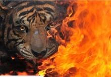 เสือสุมาตราถูกฆ่าอย่างทารุณ ถลกหนัง-ชำแหละอวัยวะ
