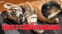 ลูกเสือโคร่ง ถูกยัดกระเป๋าเดินทางสลบ ทิ้งตะเข็บชายแดน คาดฝีมือแก๊งค้าสัตว์ผิดกฎหมาย!!