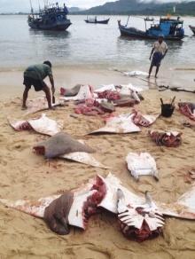 เปิดภาพสุดสะเทือนใจ!! เมื่อมนุษย์ชำแหละปลากะเบนกลางหาดให้เห็นกันสด ๆ