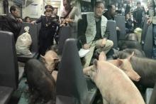 โอโห้!! พี่จีนเท่านั้นพาหมูขึ้นรถไฟไปขาย เพราะไม่มีเงินจ้างรถบรรทุก