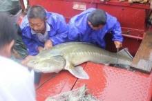 ฮือฮา!! พบปลาประหลาดดึกดำบรรพ์ น้ำหนักกว่า 100 กิโล
