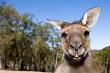 ผู้เชี่ยวชาญแนะให้ชาวออสเตรเลียกินจิงโจ้ หลังประชากรเยอะเกินไป ได้หรอ?