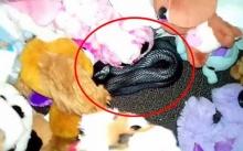 คุณพ่ออึ้ง!! เจองูนอนขดอยู่กลางกองตุ๊กตาลูกสาว ชนิดพิษร้ายกัดแล้วตายแน่!! (มีคลิป)