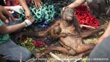 สลด อุรังอุตังแม่-ลูกหนีไฟป่าอินโดนีเซีย แต่ถูกชาวบ้านทำร้ายซ้ำ