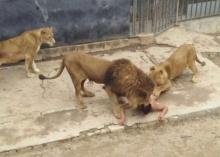 ช็อคเมื่อหนุ่มกระโดดเข้ากรงให้สิงโตขย้ำ