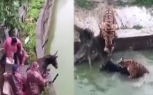 เเห่ประณาม!!! สวนสัตว์จีน โยนลาเป็นๆ ให้ฝูงเสือขย้ำ! (มีคลิป)