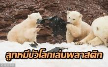 สะเทือนใจ... แม่หมีขั้วโลกนั่งมองลูกเล่นกับแผ่นพลาสติก