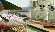 """ชิลีประสบปัญหา """"ปลาแซลมอน"""" ตาย หลายล้านตัว!"""