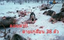 ต่างประเทศก็มี ไม่ใช่แค่ที่ไทย! ลอบล่าสัตว์ พบซากกวางเรนเดียร์ตายเกลื่อน