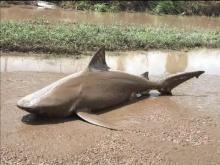 ออสซี่กระอักพายุฝน เมืองจมบาดาล ฉลามถูกซัดมาเกยถนน