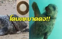 น่าสงสาร! แมวน้ำว่ายน้ำผิดท่า เพราะถูกเศษขยะล็อก-บาดคอ!!
