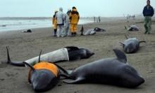 เกิดกระแสวิตกเรื่องแผ่นดินไหวหลังวาฬหัวแตงโมกว่า 150 ตัวเกยตื้นตายที่ญี่ปุ่น