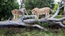 ช็อก! สิงโตกระโจนขย้ำหญิงอเมริกัน ดับคารถเที่ยวชมในแอฟริกาใต้