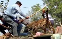 ไล่ล่าระทึก!! ชาวบ้านรุมตีจนตาย เสือดาวอาละวาด ขย้ำชาวบ้าน 9 ศพ!