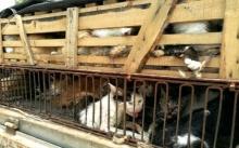 รอดแล้ว!!! ตร.จีนช่วยชีวิตแมวกว่า 500 ตัว ที่กำลังจะถูกนำไปขายให้ร้านอาหาร!