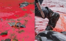 ทะเลกลายเป็นสีเลือด!! ชาวหมู่เกาะแฟโรล่าวาฬ-โลมา ใช้แท่งเหล็กทิ่มคอ ตัดเส้นประสาท (มีคลิป)