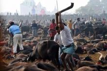 วิหารเนปาลเลิกประเพณี ฆ่าหมู่สัตว์บวงสรวงเจ้าแม่
